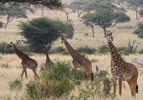 7 Days Tanzania Lodge Safari Manyara_Serengeti_Ngorongoro_Tarangire Safaris