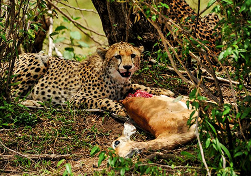 8 Days Maasai Mara / Lake Naivasha / Lake Nakuru / Amboseli / Tsavo East & West